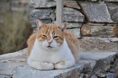 fullsizeoutput_90c2 (lnewman333) Tags: sifnos siphnos greece europe cyclades aegeansea faros island beach apokoftobeach cat tabby straycat feline