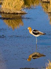 American Avocet (xjblue) Tags: bird wildlife water utah olympus e5 50200mmswd