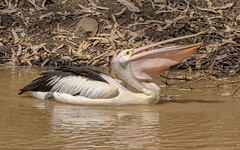 alice river - australian pelican (Fat Burns ☮ (gone bush)) Tags: australianpelican pelecanusconspicillatus bird australianbird largebird fauna australianfauna aliceriver pelican nikond500 nikon200500mmf56eedvr barcaldine nature outdoors wildlifeaustralianwildlife