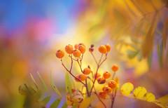 Autumn Series - 6 (Dhina A) Tags: sony a7rii ilce7rm2 a7r2 a7r kaleinar mc 100mm f28 kaleinar100mmf28 5n m42 nikonf russian ussr soviet 6blades manualfocus autumn series berries bokeh