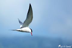 Sterne pierregarin en chasse (Jean-Daniel David) Tags: nature oiseau oiseaudeau réservenaturelle lac lacdeneuchâtel ciel closeup grosplan bleu blanc vol envol suisse suisseromande yverdonlesbains vaud