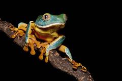 Side lunge (Jen St. Louis) Tags: cruziohylacalcarifer splendidleaffrog amphibian captive frog treefrog nikond750 nikon105mmf28 jenstlouisphotography wwwjenstlouisphotographycom macro