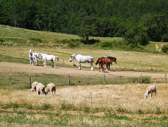 Horses & sheep, Foret Domaniale de Rialsesse (Niall Corbet) Tags: france occitanie languedoc roussillon aude foretdomaniale rialsesse horse sheep