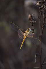 Dragonfly magic (renátaszél-nagy) Tags: dragonfly summer insect plant macro magic morning sunrise calmness relax colorful gold nature