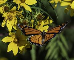 MonarchButterfly_SAF7106 (sara97) Tags: danausplexippus butterfly copyright©2018saraannefinke endangered missouri monarch monarchbutterfly nature photobysaraannefinke pollinator saintlouis towergrovepark