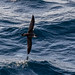 Great shearwater o the wing