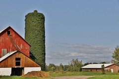 Vine covered silo (Explored-Thanks so much) (outdoorpict) Tags: farm barn silo covered sky blue lawn hay outdoor fall clouds driveway buildings green red brown ivy
