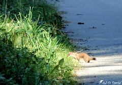 Hermine au soleil (Jean-Daniel David) Tags: animal mammifère hermine nature forêt soleil herbe verdure pelouse ombre yvonand suisse suisseromande vaud