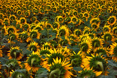 12 (marcomarchetto956) Tags: sunflower back yellow country indifference