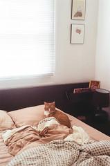(hamacle) Tags: nikon f80 n80 fuji fujifilm superia 800 35mm film analog 50mm nikkor cat pet kitten bedroom bed natural light cozy