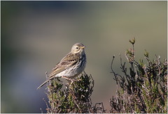 Meadow Pipit (jenny*jones) Tags: meadowpipit anthuspratensis moorland heather heatwave westyorkshire gtbritain summer2018 canon7dmarkii sigma150600mmc birdphotography naturephotography naturalworld
