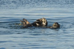 Three sea otters wiggling around. (Ruby 2417) Tags: sea otter cute wiggly play animal mammal wildlife nature furry monterey wharf bay ocean coast water