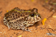 Pyxicephalus edulis -  Edible Bull Frog. (Tyrone Ping) Tags: pyxicephalus edulis edible bull frog frogs frogging south africa southern wild life nature natural africva african macro mt24ex zululand wwwtyronepingcoza wilderness canon 5dmiii tyroneping cute creature critters close up 100mmmacrof28