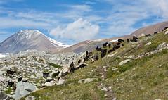 Goats near the Tsagaan Gol (White river), Altai Tavan Bogd national park, Mongolia (Miche & Jon Rousell) Tags: mongolia altaitavanbogdnationalpark white mountain mountaineering peak trekking camp basecamp mountkhuiten malchin tsagaangol whiteriver river goat
