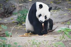 Bamboo Shoots (Painful, slow internet:() Tags: panda beijingzoo beijing china bambooshoots