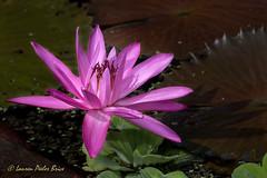 Water Lily (Laurie-B) Tags: 2018 america american kenilworthparkaquaticgardens northamerica northamerican pink usa unitedstatesofamerica washingtondc centered waterlily dpca water lily