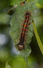 aDSC_0165 (dutchdoubles) Tags: outdoors insects insect macro hudsonvalley caterpillar