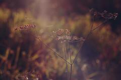 (decemberGirl.) Tags: nature bokeh spidersilk apiaceae umbelliferae 50mm