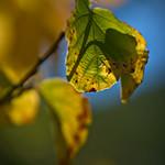 Leaves in Sunlight thumbnail