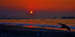 The Fires--explore (beachpeepsrus) Tags: california clouds color sunrise sky shore sihlouette shorefront surf seagull blackskimmers beachfront birds beach longbeachcalifornia light