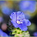 Blue Morning Bloom