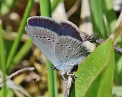 Bläuling (Hugo von Schreck) Tags: hugovonschreck butterfly schmetterling bläuling macro makro insect insekt canoneos5dsr fantasticnature tamron28300mmf3563divcpzda010