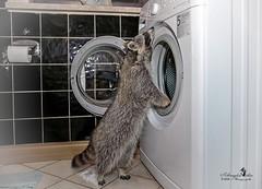 Wasch-Bär (Schneeglöckchen-Photographie) Tags: waschbär raccoon mathilda waschmaschine wäsche waschen