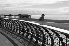 Gwylan / Seagull - Blackpool (Rhisiart Hincks) Tags: aod glanymôr cósta kostalde coast côte arfordir seaside coisfarraige pier blancinegre duagwyn gwennhadu dubhagusgeal dubhagusbán blackandwhite bw zuribeltz blancetnoir blackwhite monochrome unlliw blancoynegro zwartwit sortoghvid μαύροκαιάσπρο feketeésfehér juodairbalta sirgaerhirfryn lancashire lloegr england sasana brosaoz ingalaterra angleterre inghilterra anglaterra 英国 angletèrra sasainn انجلتــرا anglie ngilandi ue eu ewrop europe eòrpa europa blackpool fylde cyrchfangwyliau holidayresort powsows gwylan seagull faoileag faoileán gouelan