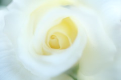 rose / white   白い薔薇 (Hideo N) Tags: rose flower nature macro bokeh white ばら 薔薇 バラ xt3
