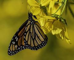 MonarchButterfly_SAF9835 (sara97) Tags: danausplexippus butterfly copyright©2018saraannefinke insect missouri monarch monarchbutterfly nature photobysaraannefinke pollinator saintlouis towergrovepark urbanpark