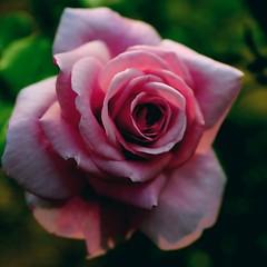 Shadowed Rose (bunnywbf5) Tags: rose dark 4k shadow pink floral flowers nature wallpaper closeup color october fall georgia