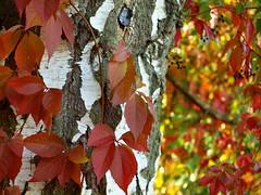bIRKE UND WILDER WEIN _A078142 (hlh 1960) Tags: autumn herbst farben colour fall foliage bunt stamm red bokeh blätter leaves baum birke nature natur outdoor outside wilderwein oktober