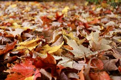 Leaves on the wet ground (Read2me) Tags: autumn pree cye trees leaves jacobspond many ground colorful dof thechallengefactorywinner ge