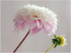 Dahlie mit Knospe (magritknapp) Tags: dahlie blume flowers makro