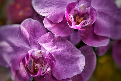 Toronto Ontario - Canada - Allan Gardens Conservatory - Toronto Tropical Garden - Landmark - Macro Orchid