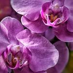 Toronto Ontario - Canada - Allan Gardens Conservatory - Toronto Tropical Garden - Landmark -  Macro Orchid thumbnail