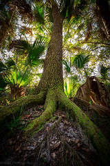 Roots of Character (tshabazzphotography) Tags: tree ancienttree green roots nature pine canon outdoors canonoffical wideangle vignette mothernature palmtree palm palmetto scrubpalm leaves sun glare morning