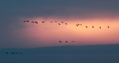 Sunset sandhills (RPahre) Tags: sandhillcranes cranes kearney nebraska sunset birds migration betterthanyouthink