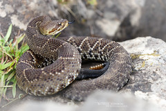 Crotalus  basiliscus (Matthieu Berroneau) Tags: trip mexique sony alpha macro nature france herpéto wildlife animal animaux ff 24x36 full frame a7ii 7ii 7mk2 sonyilce7m2 herping herpeto reptile reptilian reptilia serpent serpente snake serpentes snakes serpiente field herp venomous poisonous serpents sonya7ii sonya7mk2 sonyalpha7mark2 sonyalpha7ii 90 28 fe f28 g oss fe90f28macrogoss sonyfesonyfe2890macrogoss objectifsony90mmf28macrofe sel90m28g crotalus basiliscus crotalusbasiliscus cascabel del pacífico cascabeldelpacífico mexican west coast rattlesnake mexicanwestcoastrattlesnake green rattler mexicangreenrattler mexico