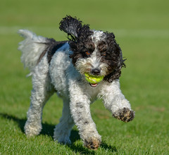 Rio Playing In The Sun (edwinbarson) Tags: dog dogs photography pets pet playing cockapoo banbury ball oxfordshire
