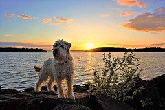 Doggy sunset. (carolinejohnston2) Tags: pet animal lake water sunset sky clouds weather rocks bush lougherne dog cofermanagh northernireland shore landscape outdoors scenery