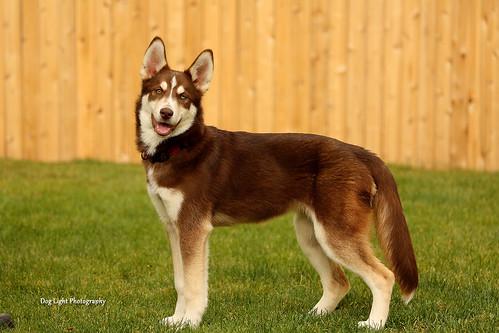 Kali the Siberian Husky