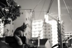 猫 (fumi*23) Tags: ilce7rm3 sony street sel55f18z 55mm katze bw monochrome neko cat chat gato blackandwhite 猫 ねこ ソニー sonnar zeiss