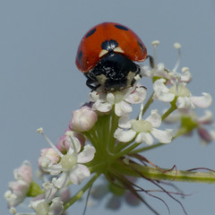 (Kaska Ppp) Tags: nature naturephotography natura animals animal insect ladybug flower flowers flowersphotography flora fauna macro macrophotography macromonday macromondays meadow