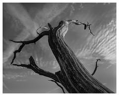 Dead Tree (Nordtegn) Tags: dehogeveluwe otterlo niederlande nederlands netherlands paysbas gelderland himmel ciel sky baum tree arbre wolke cloud nuage chemtrail kondensstreifen traînéedecondensation landschaft paysage landscape wood holz bois bw black blackandwhite blackwhite white nb noir noiretblanc blanc sw schwarz schwarzweiss schwarzweis weis weiss outdoor fotorahmen nikond800 nikkorafs1635mmf4 bianconero zw zwart zwartwit wit mono monochrom monochrome monochromatic nationalpark nationalparc parcnational
