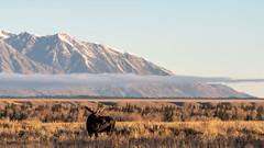 Model Moose ((JAndersen)) Tags: moose tetons grandteton grandtetonnationalpark wyoming usa animals wildlife nature mountains landscape nikon nikkor20005000mmf56 nikkor d810