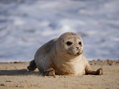 Seal pup (yvonnepay615) Tags: panasonic lumix gh4 nature seal horseygap norfolk eastanglia uk