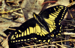 Swallowtail grounded (TJ Gehling) Tags: insect lepidoptera butterfly papilionidae swallowtail swallowtailbutterfly aniseswallowtail papilio papiliozelicaon albanyhill albanyca