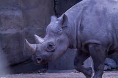 Black rhino (jan.stefka) Tags: 2018 diceros blackrhinoceros chicago nosorožecdvourohý illinois zoo bicornis lincolnpark ef100400 canoneos7d