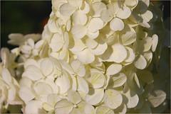 DSC_4483 (FMAG) Tags: 201809 dzialka kwiatki macro